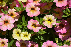 Chameleon™ Lemon Berry Calibrachoa (Calibrachoa 'Wescachalebe') at Woldhuis Farms Sunrise Greenhouses