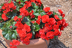 Vermillion Red Begonia (Begonia 'Vermillion Red') at Woldhuis Farms Sunrise Greenhouses