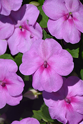 Super Elfin® XP Blue Pearl Impatiens (Impatiens walleriana 'Super Elfin XP Blue Pearl') at Woldhuis Farms Sunrise Greenhouses