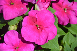 Super Elfin® Ruby Impatiens (Impatiens walleriana 'Super Elfin Ruby') at Woldhuis Farms Sunrise Greenhouses