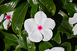 Pacifica Polka Dot Vinca (Catharanthus roseus 'Pacifica Polka Dot') at Woldhuis Farms Sunrise Greenhouses