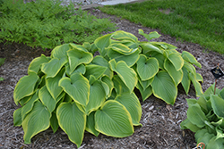 Victory Hosta (Hosta 'Victory') at Woldhuis Farms Sunrise Greenhouses