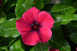 Tattoo™ Black Cherry Vinca (Catharanthus roseus 'PAS1192838') at Woldhuis Farms Sunrise Greenhouses