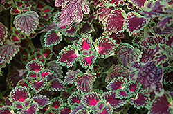 Lava Rose Coleus (Solenostemon scutellarioides 'Lava Rose') at Woldhuis Farms Sunrise Greenhouses
