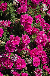 Surfinia® Summer Double Rose Petunia (Petunia 'Surfinia Summer Double Rose') at Woldhuis Farms Sunrise Greenhouses