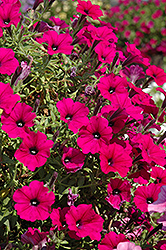 Supertunia® Mini Purple Petunia (Petunia 'Supertunia Mini Purple') at Woldhuis Farms Sunrise Greenhouses