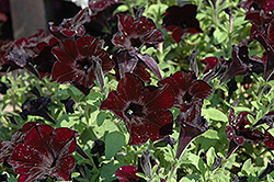 Crazytunia® Black Mamba Petunia (Petunia 'Crazytunia Black Mamba') at Woldhuis Farms Sunrise Greenhouses