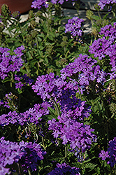 Superbena® Royale Chambray Verbena (Verbena 'Superbena Royale Chambray') at Woldhuis Farms Sunrise Greenhouses