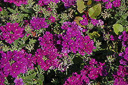 Lanai® Blue Verbena (Verbena 'Lanai Blue') at Woldhuis Farms Sunrise Greenhouses