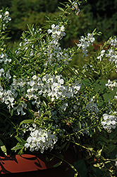 Carita Cascade White Angelonia (Angelonia angustifolia 'Carita Cascade White') at Woldhuis Farms Sunrise Greenhouses