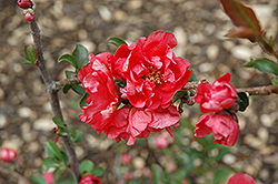 Double Take Pink™ Flowering Quince (Chaenomeles speciosa 'Double Take Pink Storm') at Woldhuis Farms Sunrise Greenhouses
