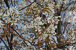 Autumn Brilliance Serviceberry (Amelanchier x grandiflora 'Autumn Brilliance (tree form)') at Woldhuis Farms Sunrise Greenhouses