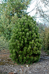 Gnome Bosnian Pine (Pinus leucodermis 'Gnome') at Woldhuis Farms Sunrise Greenhouses