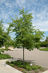 Majestic Skies™ Northern Pin Oak (Quercus ellipsoidalis 'Bailskies') at Woldhuis Farms Sunrise Greenhouses