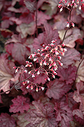 Berry Smoothie Coral Bells (Heuchera 'Berry Smoothie') at Woldhuis Farms Sunrise Greenhouses