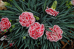 Coral Reef Pinks (Dianthus 'WP07OLDRICE') at Woldhuis Farms Sunrise Greenhouses