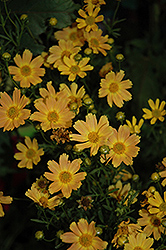 Sweet Marmalade Tickseed (Coreopsis verticillata 'Sweet Marmalade') at Woldhuis Farms Sunrise Greenhouses