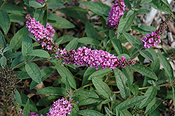 Lo And Behold® Pink Micro Chip Dwarf Butterfly Bush (Buddleia 'Lo And Behold Pink Micro Chip') at Woldhuis Farms Sunrise Greenhouses