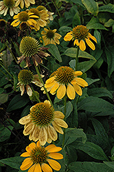 Sombrero® Lemon Yellow Coneflower (Echinacea 'Balsomemy') at Woldhuis Farms Sunrise Greenhouses