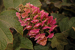 Ruby Slippers Hydrangea (Hydrangea quercifolia 'Ruby Slippers') at Woldhuis Farms Sunrise Greenhouses
