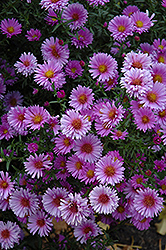 Purple Dome Aster (Aster novae-angliae 'Purple Dome') at Woldhuis Farms Sunrise Greenhouses