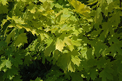 Princeton Gold Maple (Acer platanoides 'Princeton Gold') at Woldhuis Farms Sunrise Greenhouses