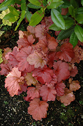 Galaxy Coral Bells (Heuchera 'Galaxy') at Woldhuis Farms Sunrise Greenhouses