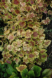 Solar Eclipse Foamy Bells (Heucherella 'Solar Eclipse') at Woldhuis Farms Sunrise Greenhouses