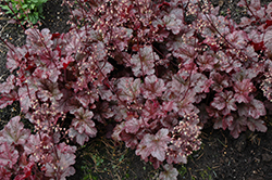 Berry Marmalade Coral Bells (Heuchera 'Berry Marmalade') at Woldhuis Farms Sunrise Greenhouses