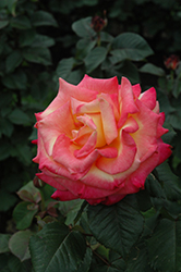 Dream Come True Rose (Rosa 'Dream Come True') at Woldhuis Farms Sunrise Greenhouses