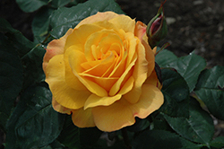 Good As Gold Rose (Rosa 'WEKgobafa') at Woldhuis Farms Sunrise Greenhouses