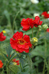 Mrs. Bradshaw Avens (Geum 'Mrs. Bradshaw') at Woldhuis Farms Sunrise Greenhouses