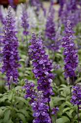 Cathedral™ Deep Blue Salvia (Salvia farinacea 'Cathedral Deep Blue') at Woldhuis Farms Sunrise Greenhouses