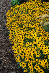 Little Goldstar Coneflower (Rudbeckia fulgida 'Little Goldstar') at Woldhuis Farms Sunrise Greenhouses