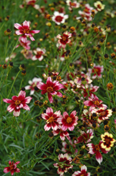 Berry Chiffon Tickseed (Coreopsis 'Berry Chiffon') at Woldhuis Farms Sunrise Greenhouses