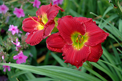 Happy Ever Appster® Red Hot Returns Daylily (Hemerocallis 'Red Hot Returns') at Woldhuis Farms Sunrise Greenhouses