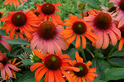 Julia Coneflower (Echinacea 'Julia') at Woldhuis Farms Sunrise Greenhouses