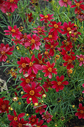 Red Satin Tickseed (Coreopsis 'Red Satin') at Woldhuis Farms Sunrise Greenhouses