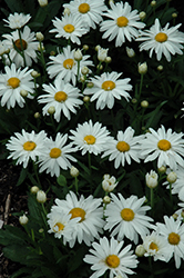 Whoops-A-Daisy Shasta Daisy (Leucanthemum x superbum 'Whoops-A-Daisy') at Woldhuis Farms Sunrise Greenhouses