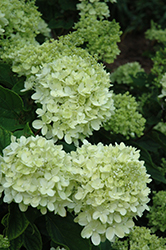 Little Lime® Hydrangea (Hydrangea paniculata 'Jane') at Woldhuis Farms Sunrise Greenhouses