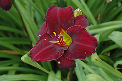 Raspberry Suede Daylily (Hemerocallis 'Raspberry Suede') at Woldhuis Farms Sunrise Greenhouses