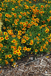 Lil' Bang™ Daybreak Tickseed (Coreopsis 'Daybreak') at Woldhuis Farms Sunrise Greenhouses