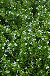 White False Heather (Cuphea hyssopifolia 'Alba') at Woldhuis Farms Sunrise Greenhouses
