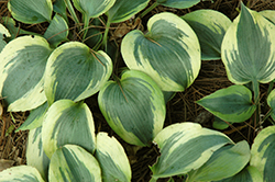 Grand Prize Hosta (Hosta 'Grand Prize') at Woldhuis Farms Sunrise Greenhouses