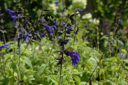Black And Blue Anise Sage (Salvia guaranitica 'Black And Blue') at Woldhuis Farms Sunrise Greenhouses