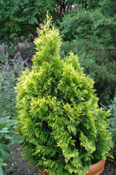 Forever Goldy Arborvitae (Thuja plicata '4ever') at Woldhuis Farms Sunrise Greenhouses