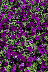 Easy Wave Blue Petunia (Petunia 'Easy Wave Blue') at Woldhuis Farms Sunrise Greenhouses