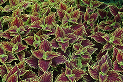Coleosaurus Coleus (Solenostemon scutellarioides 'Coleosaurus') at Woldhuis Farms Sunrise Greenhouses