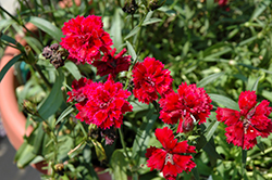 Dynasty Red Pinks (Dianthus 'Dynasty Red') at Woldhuis Farms Sunrise Greenhouses