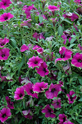 Cascadias Pitaya Petunia (Petunia 'Cascadias Pitaya') at Woldhuis Farms Sunrise Greenhouses